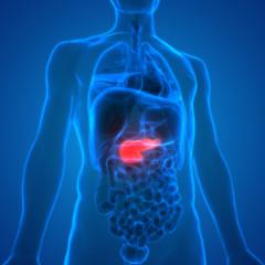 Human Body Organs Anatomy (Pancreas)