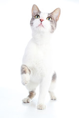 Domestic cat on isolated white background. Cat wanting food. Trained cat. Animal mammal pet. Beautiful grey white cat young kitten on isolated white studio photo background. Cat with beautiful eyes