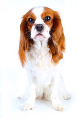 Cute. Beautiful friendly cavalier king charles spaniel dog. Purebred canine trained dog puppy. Blenheim spaniel dog puppy