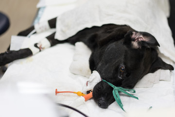The black dog 's the placement of a tube that extends from the oral cavity into the trachea (endotracheal intubation) with cephalic vein intravenous cannulation .