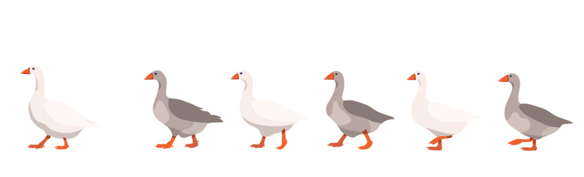 Flock of domestic geese isolated on white background, geese covey follows the leader