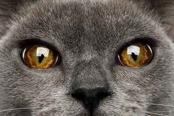 Close-up Eyes of Blue Burmese Cat isolated on black background