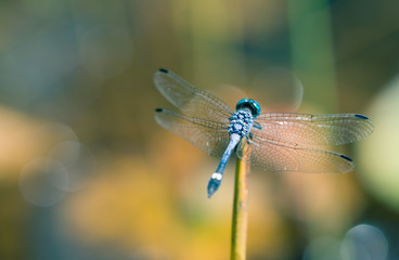 Blue dragonfly picture from behind with spread wings closeup resting on a small stick with bokeh background out of focus macro photo.