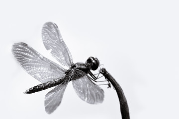 Black and white dragonfly with spread wings closeup sitting on a small stick with white seamless background macro photo.