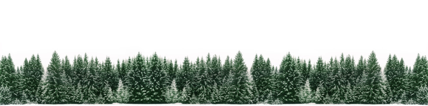 Panorama of spruce tree forest covered by fresh snow during Winter Christmas time. The winter scene is almost duotone due to contrast between the frosty spruce trees, white snow foreground and sky