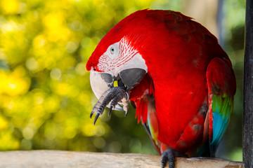 Blue yellow Macaw Parrot bird. Ara chloroptera