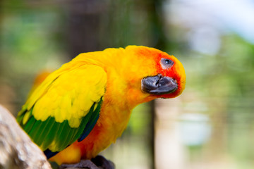 Bird yellow parrot with green wings and red head