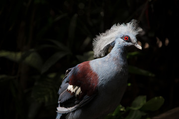 Victoria Crowned Pigeon. Blue bird with red eyes and crest. Goura