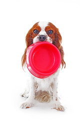 Hungry dog with bowl.Beautiful friendly cavalier king charles spaniel dog. Purebred canine trained dog puppy. Blenheim spaniel dog puppy photo.