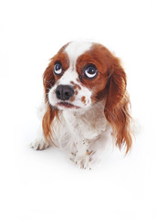 Scared dog. Cavalier king charles spaniel puppy studio photo. Scared or guilty face. King charles spaniel photography. Animal pet trained dog photos. Shy afraid scared dog face. Photo.