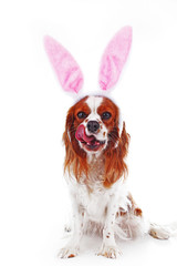 Easter dog concept. Funny easter puppy pet photo. Cavalier king charles spaniel dog photo. Beautiful cute cavalier puppy dog on isolated white studio background. Trained pet photos for every concept