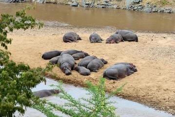 Hippos in the river Mara National Park Masai Mara, Kenya, Africa