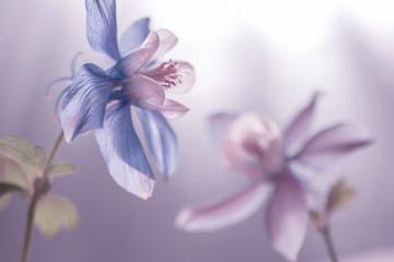 Blau / weiße Akelei (Aquilegia)