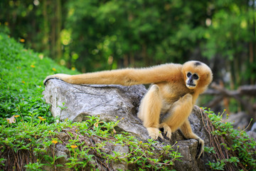 Image of female northern white-cheeked gibbon on nature background. Wild Animals.