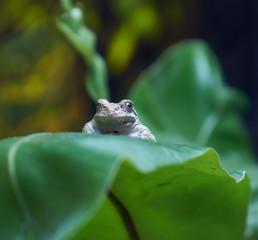 Common toad Bufo bufo