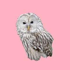 Funny little owlet, isolated image, pink background