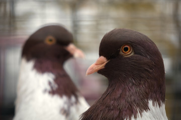 two doves, close up portrait
