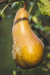 pear biological agriculture - vintage style photo