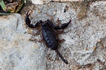 Scorpion of the species Euscorpius italicus