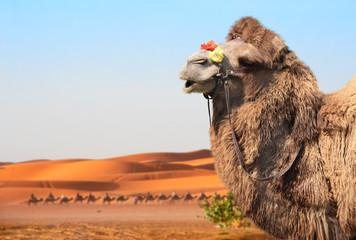 Camels in Sahara desert, Morocco