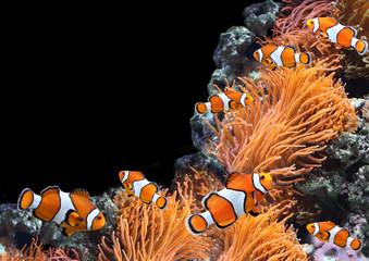 Sea anemone and clown fish