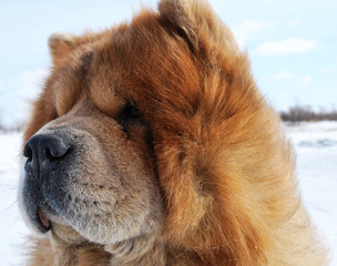 Dog of the chow-chow on walk