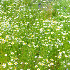 Wall Mural - White daisy in spring meadow.