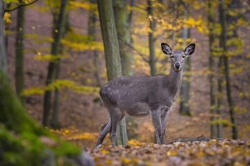 Sika deer, (Cervus nippon), female, autumn forest