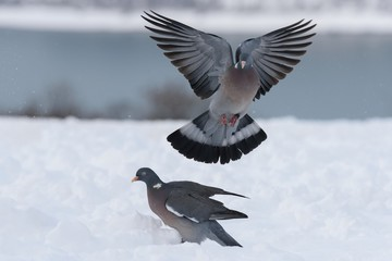 Wood pigeon fly in the winter