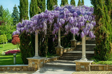 Beautiful purple wisteria flowers