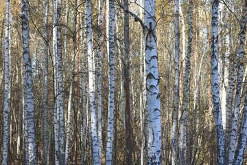 beautiful scene in yellow autumn birch forest in october