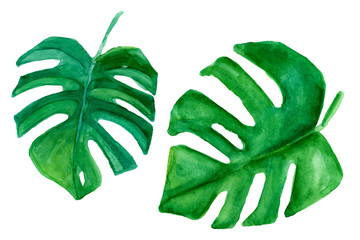 Tropical plant. Green monstera leaf