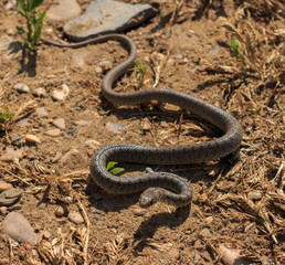 Snake (Dolichophis caspius)