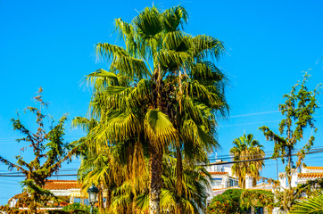 beautiful spreading palm tree on the beach, exotic plants symbol of holidays, hot day, big leaves