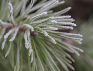close up rime frozen fir pine tree branch christamas winter first frost snow green bokeh background