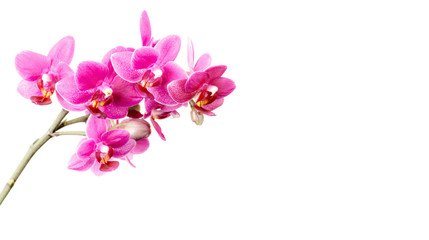 Wall Mural - Pink orchid flowers isolated on white