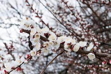 Blossoming spring tree of cherry. Season of cherry blossom.