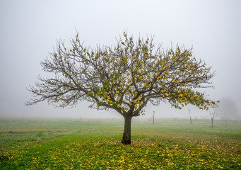 Lonely apple tree in foggy autumn
