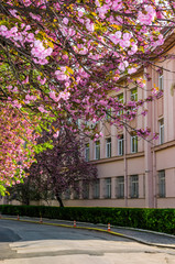 cherry blossom on the city street of Uzhgorod