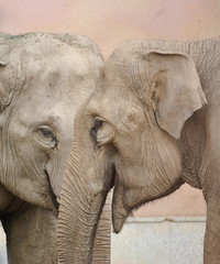 The Asian or Asiatic elephant (Elephas maximus)