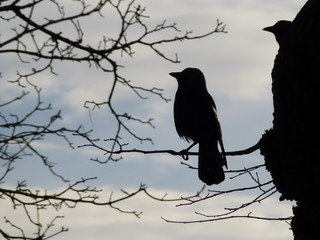 Crow silhouette.