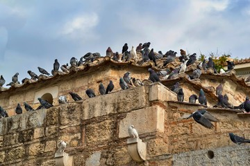 pack of pigeons on ancient ruins