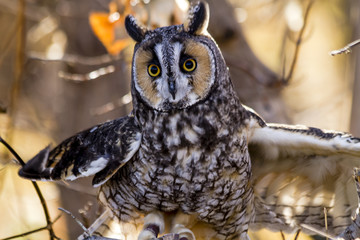 Long-eared Owl in fall forest setting