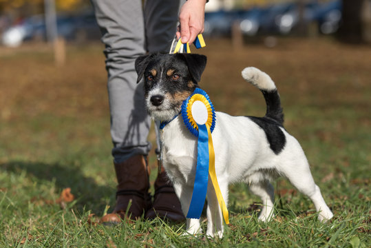 Dog owner and winner cup bow - Jack Russell Terrier male 1,5 years old
