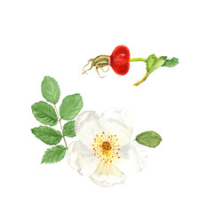 Botanical watercolor illustration sketch of white dogrose with berry and leaves on white