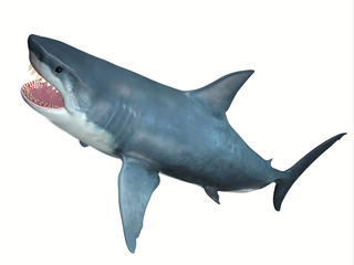 Carnivore Great White Shark - The Great White Shark is one of the largest predators in the ocean and inhabits temperate and warm coastal seas.
