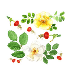 Botanical watercolor illustration sketch of white and yellow flowers dogrose with berry and leaves on white