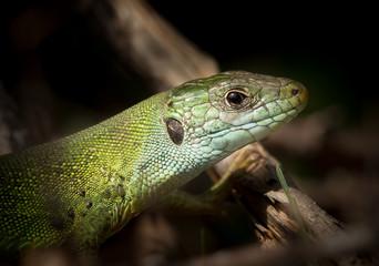 Portrait of a green lizard resting in the sun