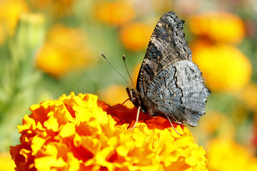 macro of butterfly collecting nectar on the marigolds