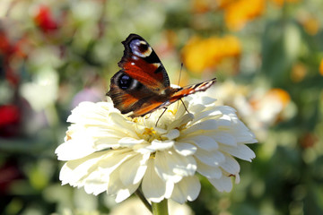 butterfly sits on the white zinnia